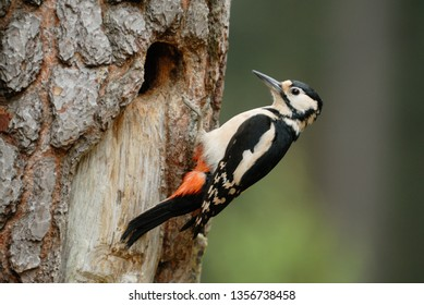 Female Great-spotted Woodpecker (Dendrocopos major) at the nest hole in Avon Heath Country Park, Dorset, England, UK