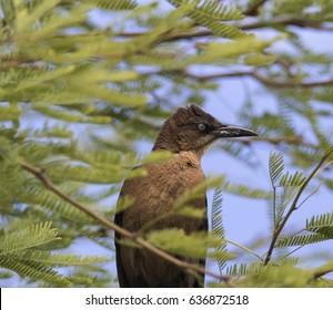 Female Great-tailed Grackle in Phoenix, Arizona