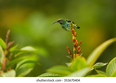 Female green Cyanerpes caeruleus  Purple Honeycreeper with bright yellow legs and brown head perched on flower. Green background, blurred leaves, lens bokeh effect, Trinidad rain forest.