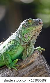 Female Green Iguana (Iguana iguana), head profile