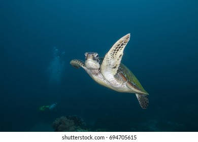 Female Green Sea Turtle (Chelonia mydas)  Posing