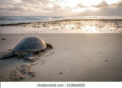 Female Green sea turtle on the beach after having laid her eggs. Swahili Coast, Tanzania.