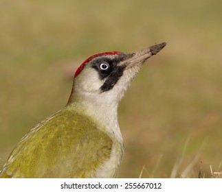 Female Green Woodpecker (Picus viridis) on ground (looking for ants)