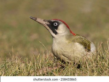 Female Green Woodpecker (Picus viridis) on ground
