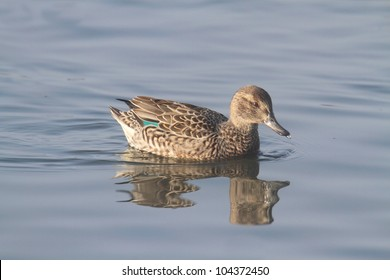 Female Green-winged Teal (anas crecca) swimming in blue water
