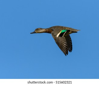 Female Green-winged Teal in Flight on Blue Sky