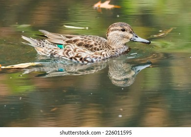 Female Green-winged Teal swimming in a pond.