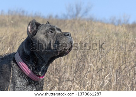 Female Grey Cane Corso Cropped Ears Stock Photo Edit Now