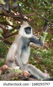 The female grey Langur sits on a tree carefully observing the situation. Wilpattu national Park, Sri Lanka.