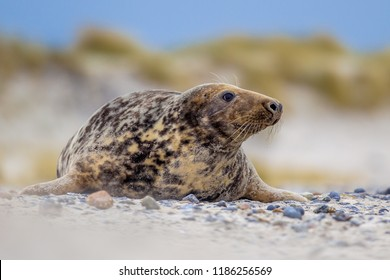 Female Grey seal (Halichoerus grypus) on beach with dunes in background looking to side on Helgoland island