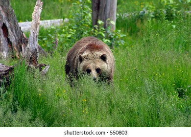 Female Grizzly in Meadow 2