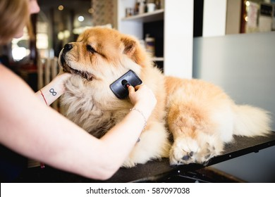 Female groomer brushing chow chow at grooming salon.