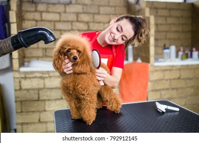 Female groomer brushing miniature red poodle at grooming salon.