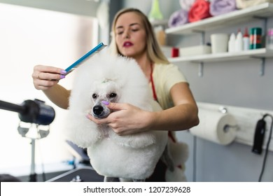 Female groomer brushing miniature white poodle at grooming salon.