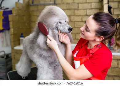 Female groomer brushing standard grey poodle at grooming salon.