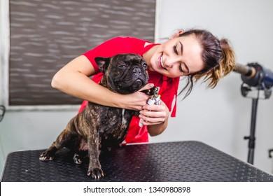 Female groomer cutting French bulldog's nails at grooming salon.