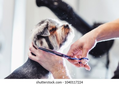 Female groomer haircut yorkshire terrier on the table for grooming in the beauty salon for dogs. process of final shearing of a dog's hair with scissors. muzzle of a dog view