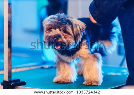 Female Groomer Haircut Yorkshire Terrier On Stock Photo Edit Now