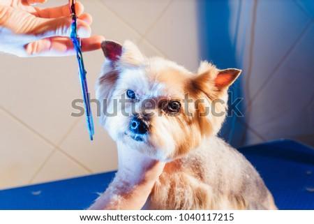 Yorkshire Terrier Haircut Creative Creative Pigout Yorkshire Terrier