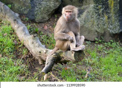 Female Hamadryas baboon sits on a tree log. Hamadryas baboons are native to the Horn of Africa and the southwestern tip of the Arabian Peninsula.