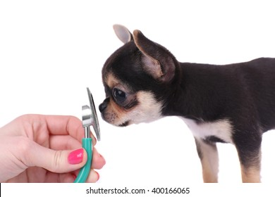 Female hand examining  a small chihuahua puppy with a stethoscope on the white background
