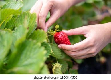 Female hand harvesting red fresh ripe organic strawberry in garden. Woman picking strawberries in field, closeup. - Shutterstock ID 1900944538