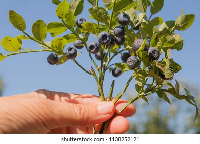 female hand holding blueberry branches with ripe berries, against blue sky