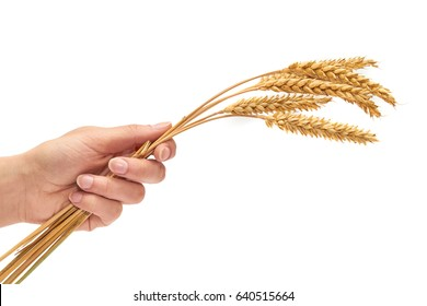 female hand holding ear of wheat. The concept of warmth and prosperity. Isolated on white background