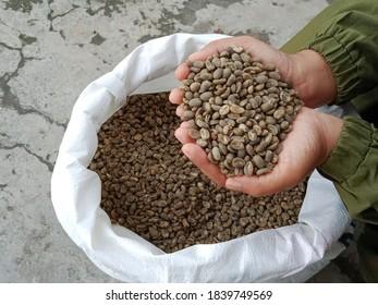 female hand holding greenbean coffee semiwash sumatra that has dried
