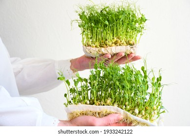 A female hand holding a microgreen, sprouts of green peas on a white background in white clothes. Copy space