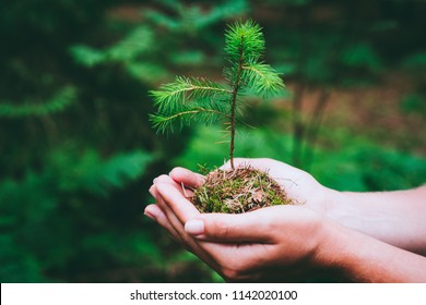 Female hand holding sprout wilde pine tree in nature green forest. Earth Day save environment concept. Growing seedling forester planting - Shutterstock ID 1142020100