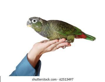 female hand holding a tamed green pionus parrot, white background