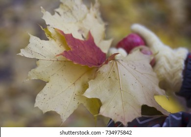 female hand holding yellow leaves, Bouquet of maple leaves, autumn concept. Thanksgiving holidays concept. Autumn background with colorful fall maple leaves