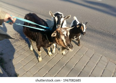 A female hand holds a family of goats on a blue leash. Black-brown goat, white-black goat and white-black-brown goat for a walk with the hostess. The kid has small horns on its head.
