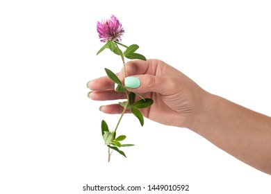 the female hand holds a flower a clover is isolated on a white background