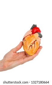 Female hand holds human heart model isolated on white background