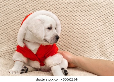 Female hand holds a white labrador puppy wearing a Santa Claus costume