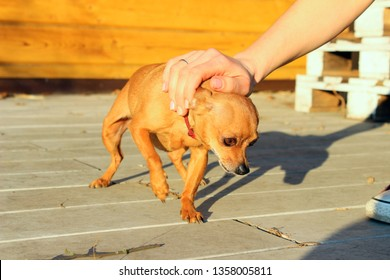 Female Hand Petting Little Dog. Pet, Animals Concept.  Owner And Pet. Cowardly Little Dog Outdoors.