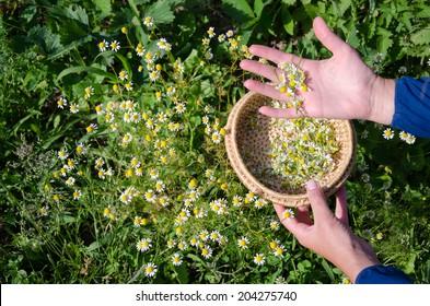 Female hand pick camomile herbal flower blooms to wooden wicker dish in garden. Alternative medicine.