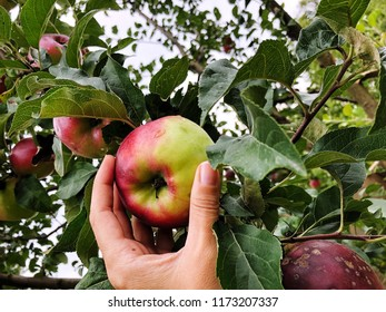 female hand picking apple from tree