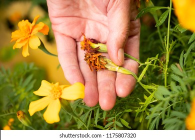 Female Hand Picking Seeds Of Marigold (Tagetes Erecta) In Garden In Summer Close Up. Collecting Flower Seeds.