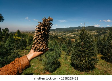 Female hand, with a pine cone in a Christmas pine farm / forest between the mountains of Mexico, in the Municipality de Xonacatlan (POV)