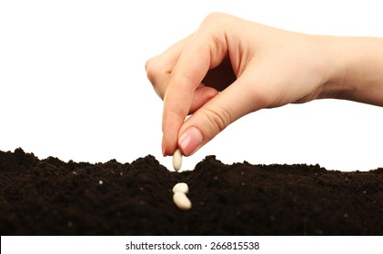 Female hand planting white bean seeds in soil isolated on white