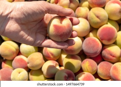 A female hand puts a ripe, only ripped peach in a basket with a lot of ripe yellow peaches.  Peach picking.  Fruit background