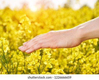 Female hand sliding on yellow flowers at meadow. Summer sunny day