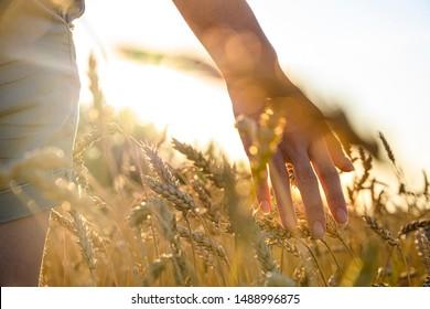 female hand stroking rye ear in a field