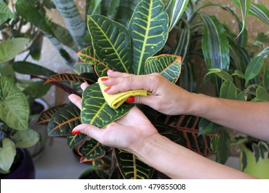Female hand takes care of indoor plants.