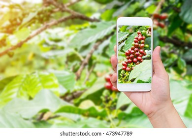 Female hand taking photo of fresh coffee beans with mobile phone