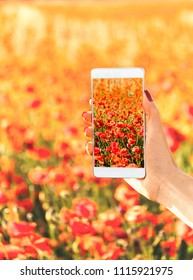 Female hand taking photo of red poppies meadow with smartphone in summer outdoor, point of view.