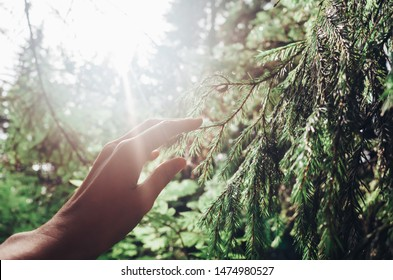 Female hand touches a coniferous tree branch in the forest. The sun shines brightly. The concept of unity with nature, rest from the hustle and bustle, relaxation, simple joys, Hygge, Lagom.
